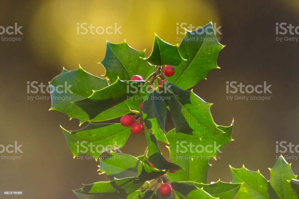 Christmas holly with red berries close up royalty-free stock photo