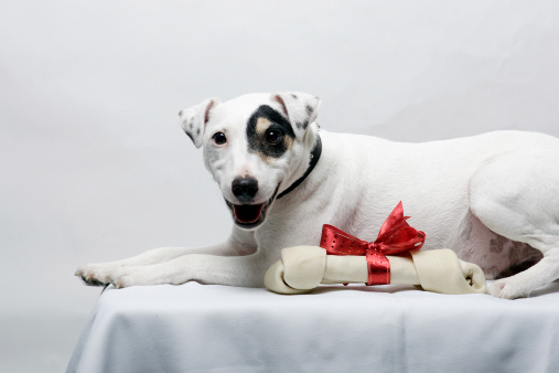 Jack Russell with his favorite gift