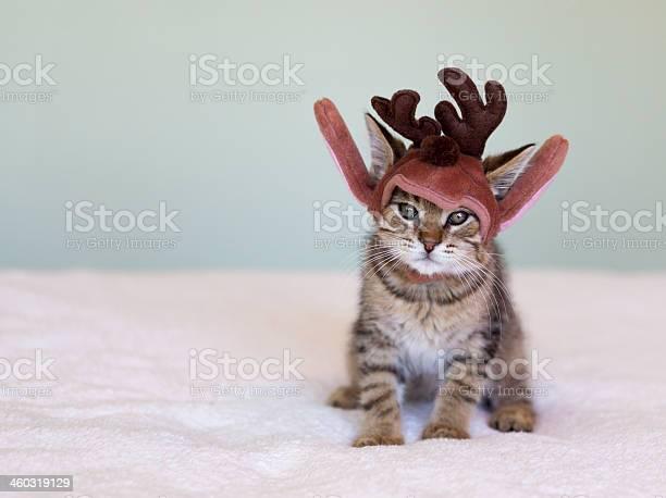 Christmas kitten picture id460319129?b=1&k=6&m=460319129&s=612x612&h=5etm14ybaecvcpk2kbhqit hut1q47gbh4vfpqjiu1a=