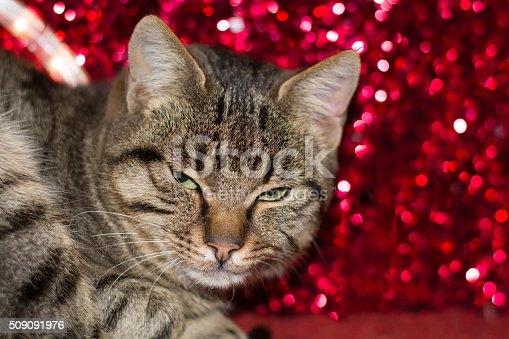 626958754 istock photo Christmas kitten with red christmas light decoration 509091976