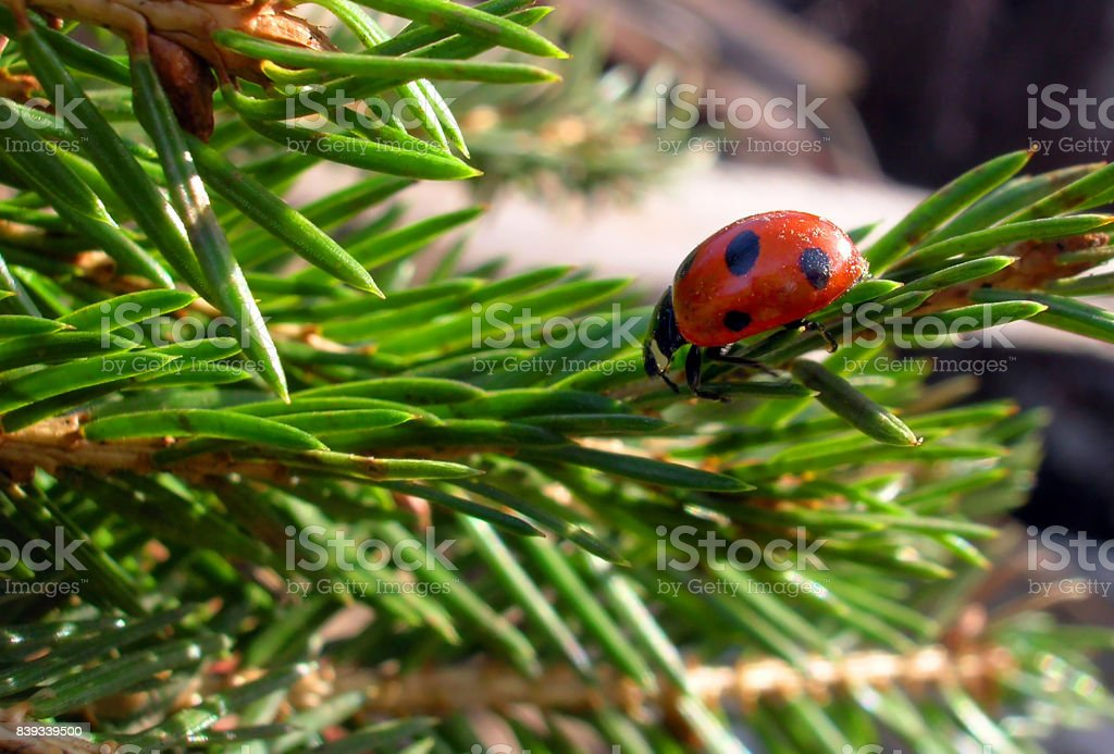 Christmas ladybug stock photo