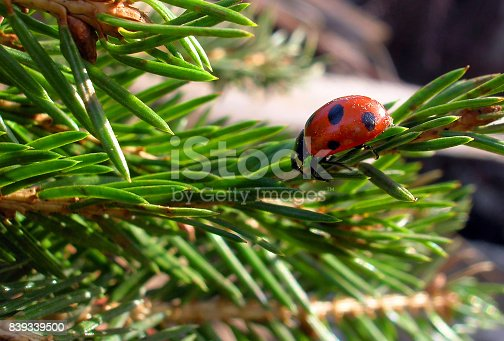 Christmas Ladybug Stock Photo & More Pictures of Beauty