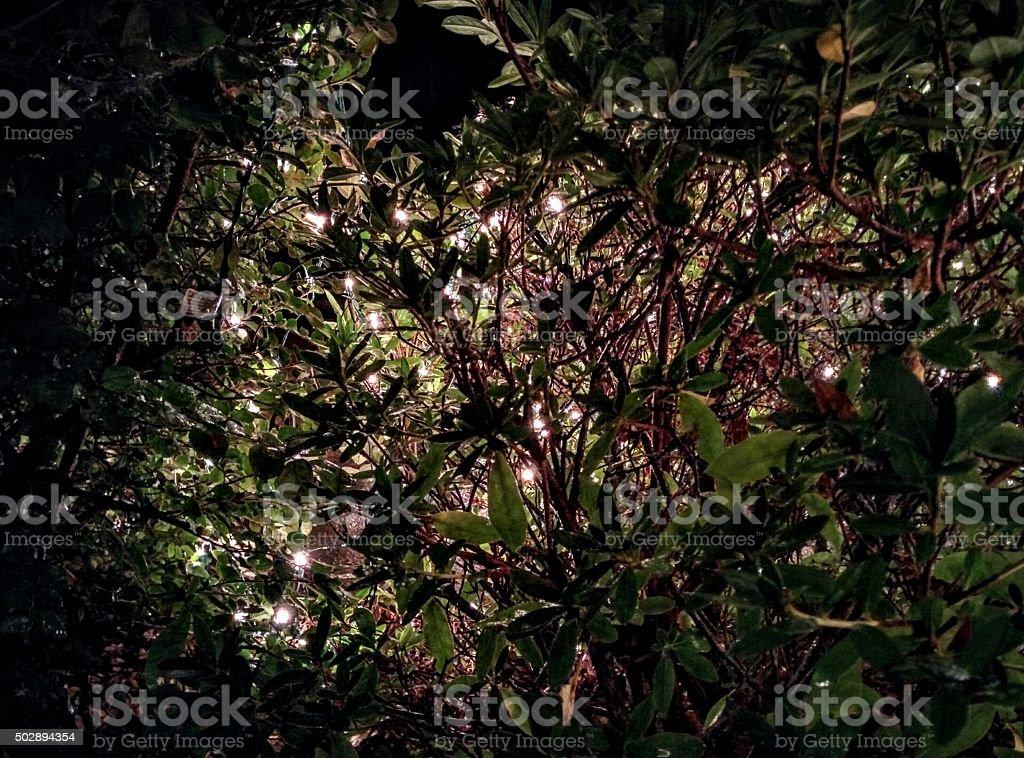Christmas Lights from Inside the Shrub stock photo