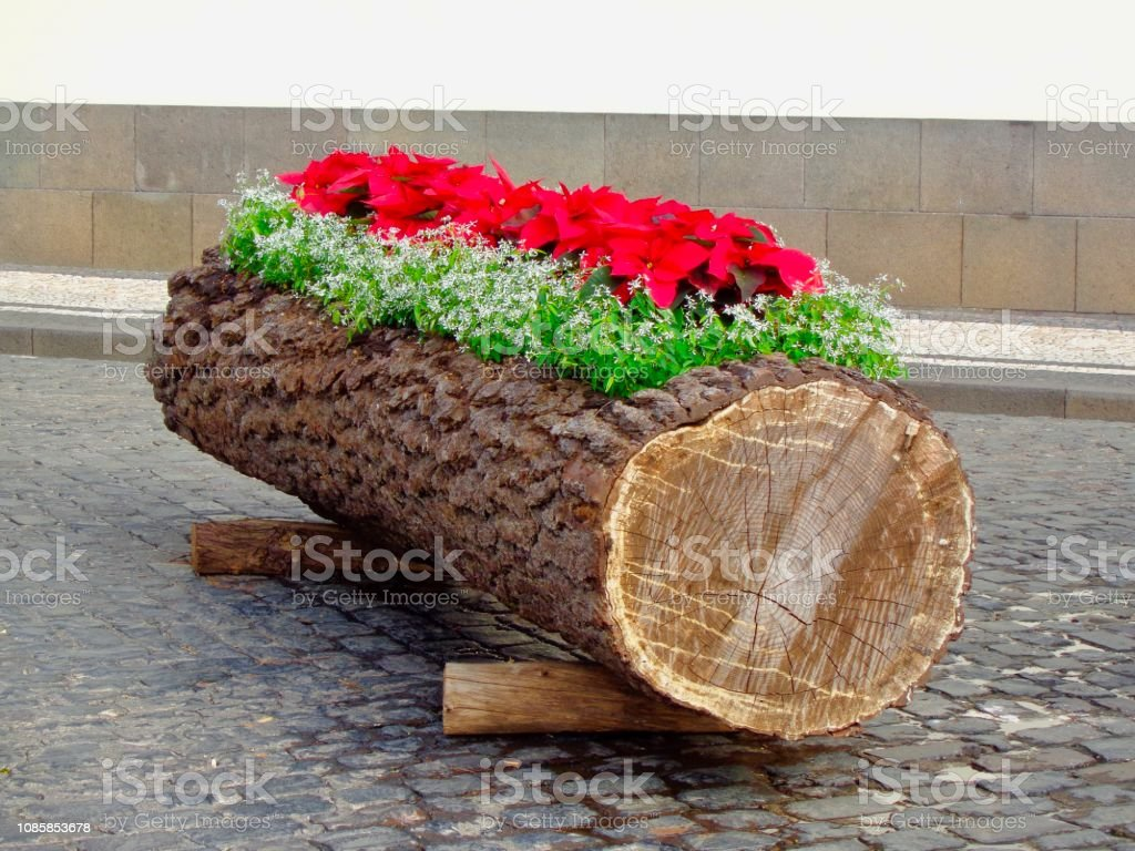 Christmas log with poinsettias - Royalty-free Atlantic Islands Stock Photo