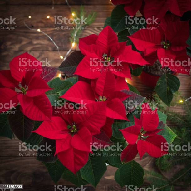 Christmas mystic red poinsettia macro on wooden background with picture id1181692233?b=1&k=6&m=1181692233&s=612x612&h=m1bpbfa2uc52f5u9vziuvdzm7e8ahu ycedb4eonrsi=