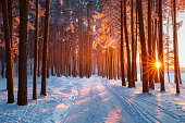 Snow path in winter forest. Evening sun shines through trees. Sun illuminates trees with frost. Winter snowy sunny landscape. Christmas nature. Xmas scenery.