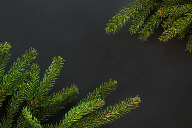 Christmas or New Year decoration background. Fir tree branches on black background with copy space. Top view. Pattern. stock photo
