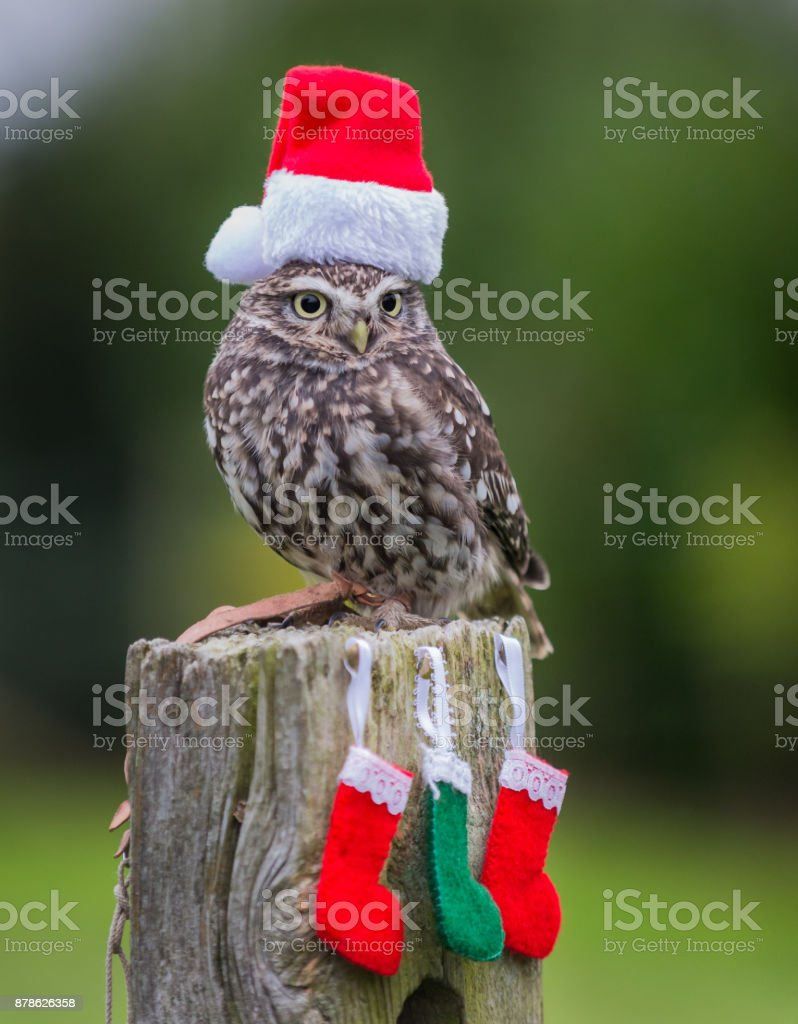 Christmas Owl stock photo