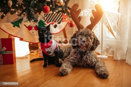 Lagotto Romagnolo puppy and black cat posing with antlers at Christmas time.