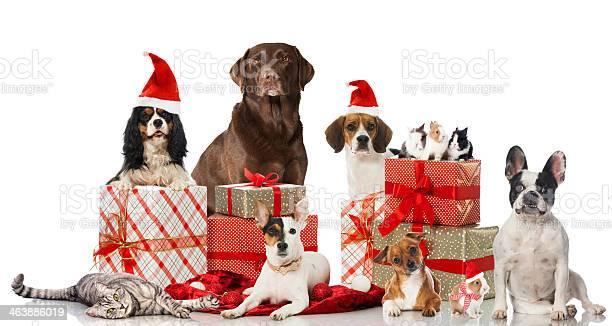 Christmas pets picture id463886019?b=1&k=6&m=463886019&s=612x612&h=k 42yn20ny bdyeamdxhri62kh70c o2rbefujza6lm=