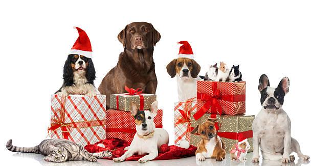 weihnachten haustiere - katze weihnachten stock-fotos und bilder
