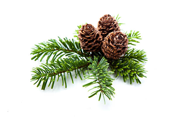 Christmas pine cones on fir branches stock photo