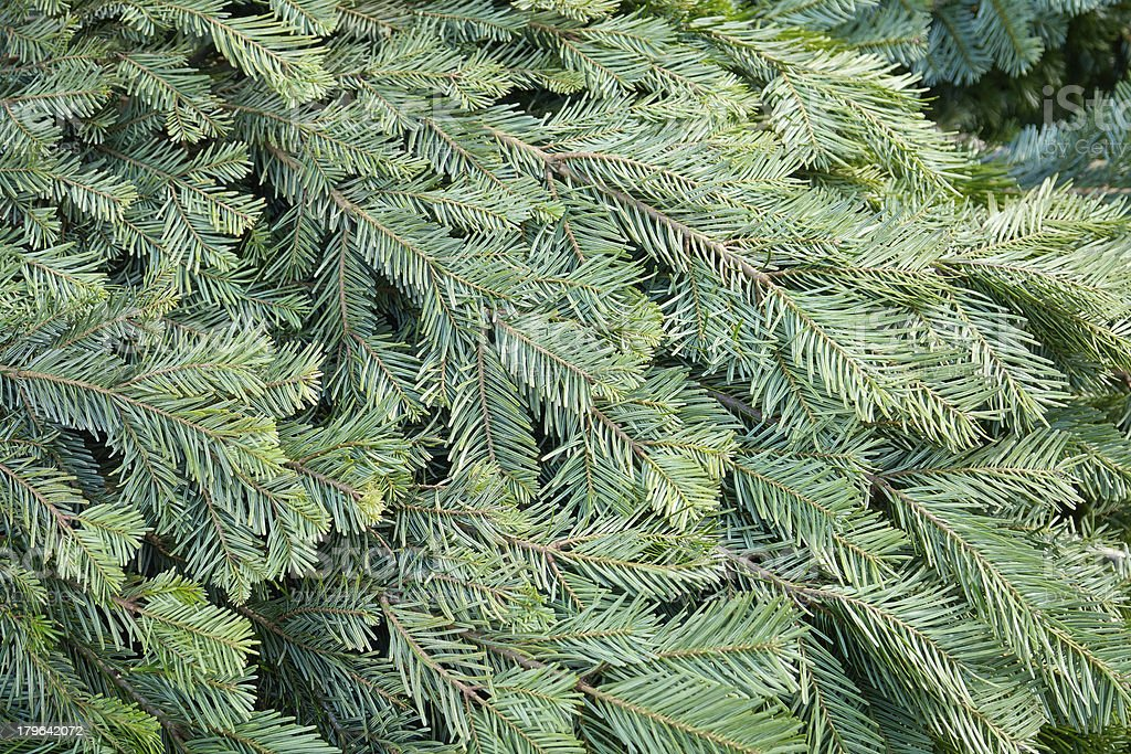 Christmas pine fir tree branches royalty-free stock photo