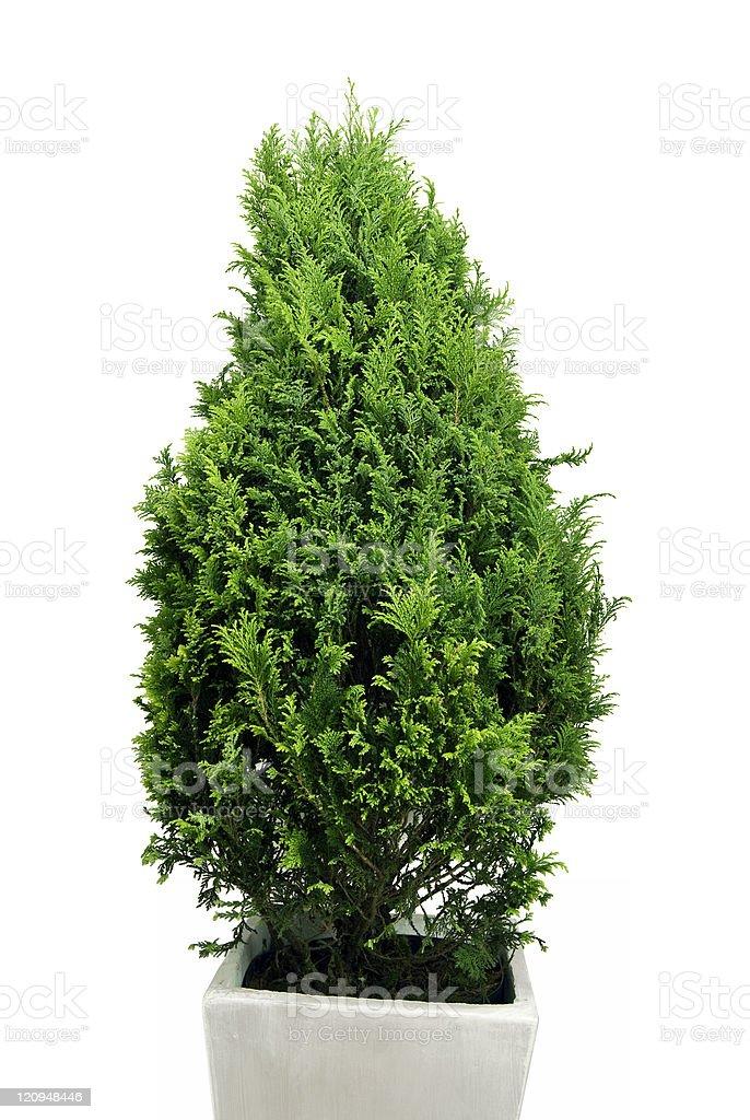 Christmas Pine Tree royalty-free stock photo