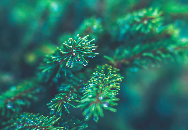 christmas pine tree with dew drops and copy space - colorado tanne stock-fotos und bilder