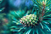 Christmas pine tree with pine cones and copy space