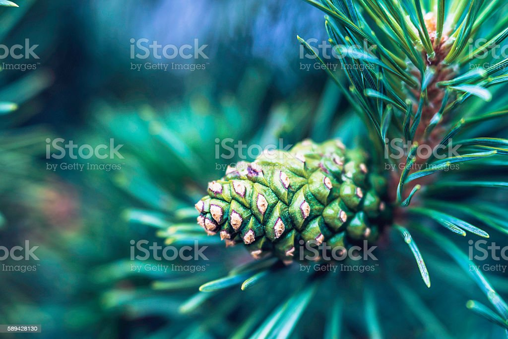 Christmas pine tree with pine cones and copy space stock photo