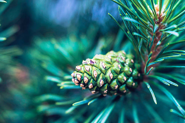 christmas pine tree with pine cones and copy space - colorado tanne stock-fotos und bilder