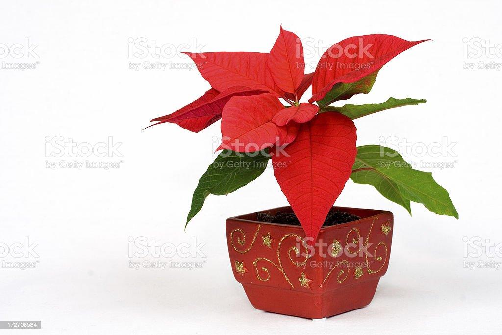 Christmas Plant royalty-free stock photo