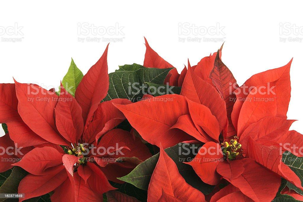 Christmas Poinsettia Border royalty-free stock photo