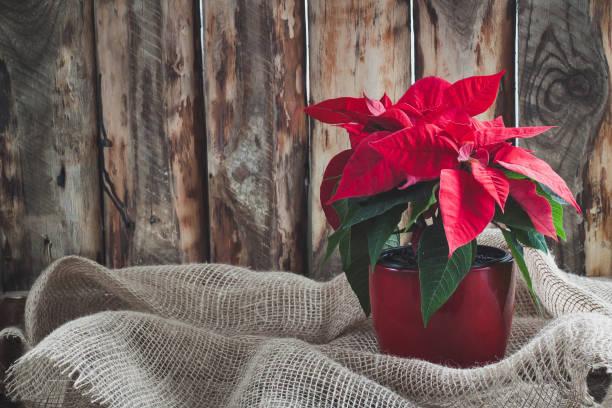 kerst poinsettia geïsoleerd op de vintage houten achtergrond. - kerstster stockfoto's en -beelden