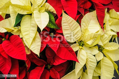 Close up of red and yellow poinsettia leaves.