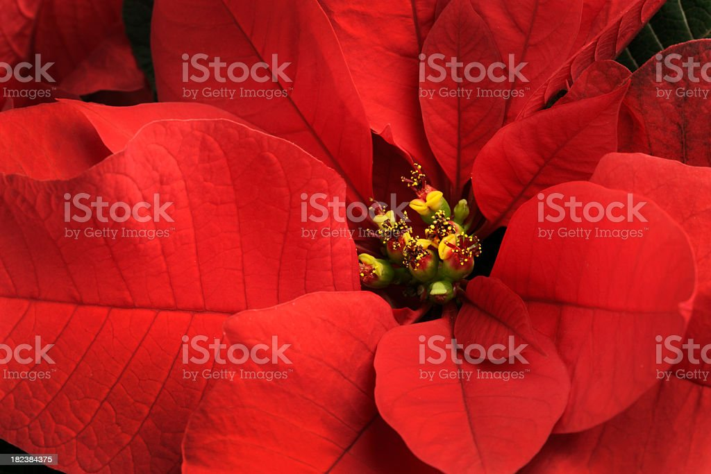 Christmas Poinsettia Single Red Flower Close-up,  Festive Holiday Blooming Plant stock photo