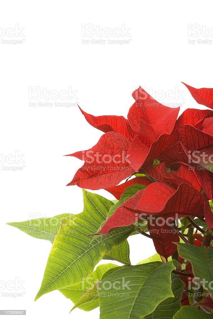 christmas poinsettia studio shot on white royalty-free stock photo