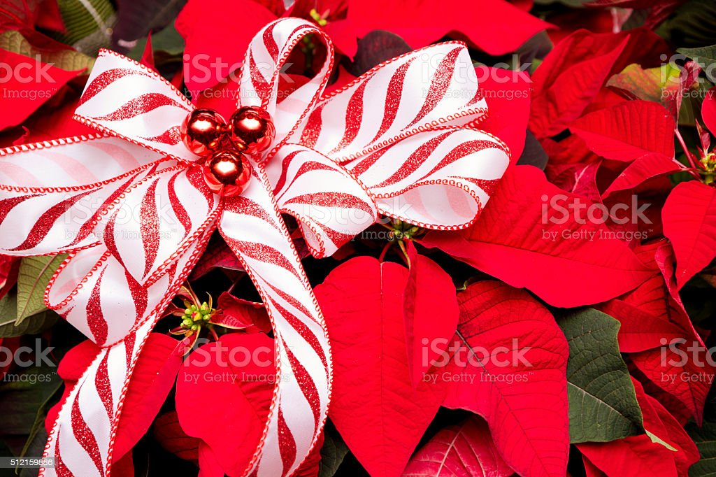 Christmas Poinsettia With Striped Ribbon and Decorations stock photo
