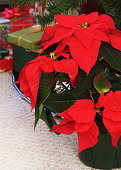 A red poinsettia in front of a Christmas tree surrounded by gifts.