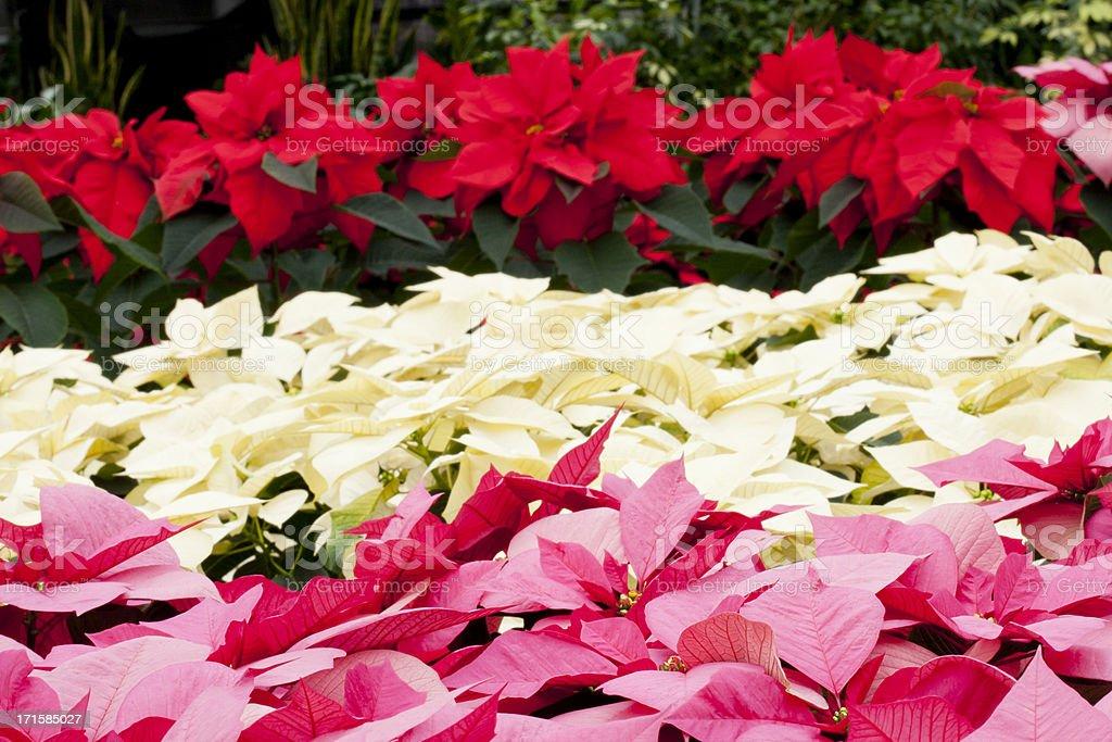 Christmas Poinsettias stock photo