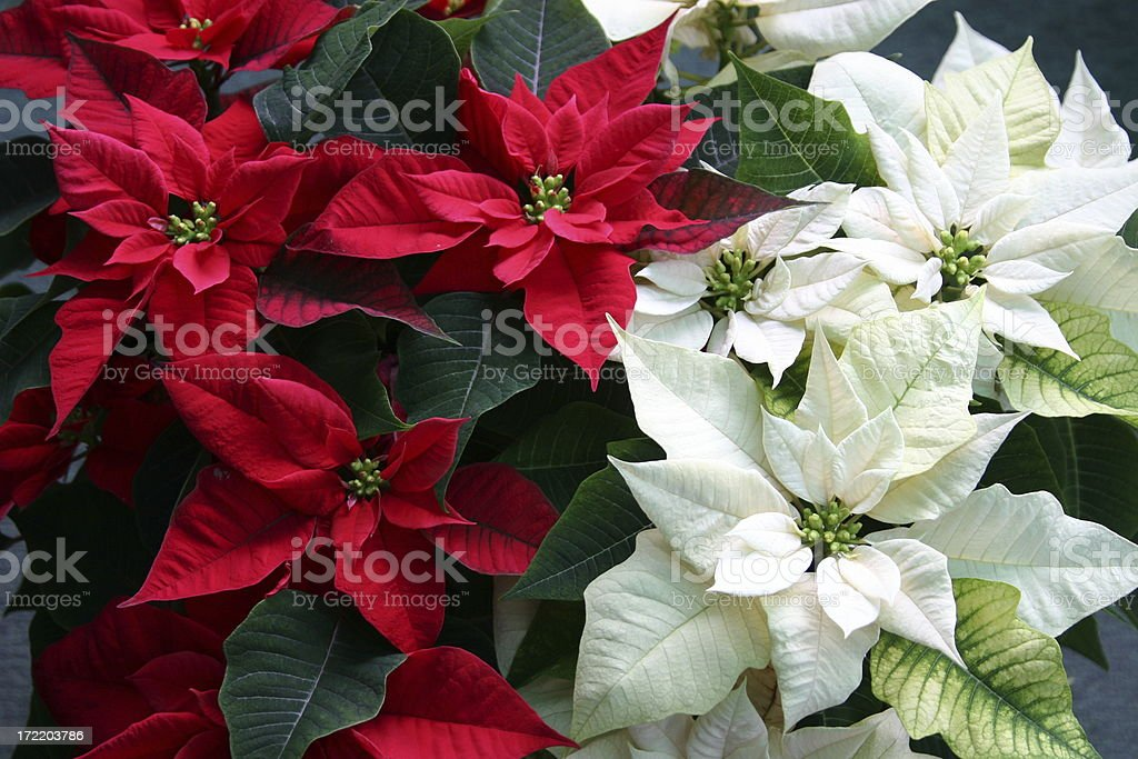Christmas Poinsettias stock photo