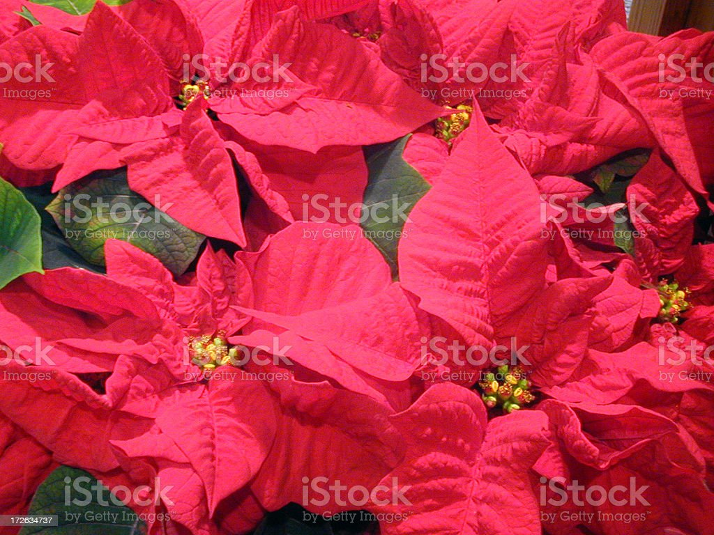 Christmas Pointsettias royalty-free stock photo