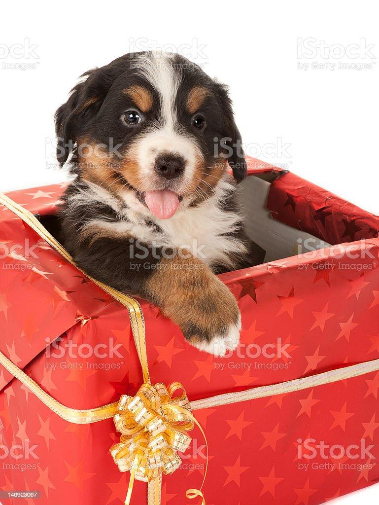 Foto Di Natale Con Cani.Regalo Di Natale Con Cane Fotografie Stock E Altre