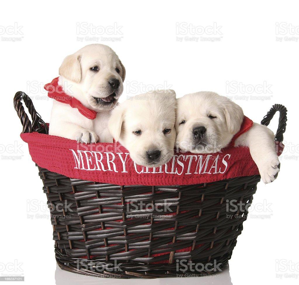 Christmas puppies stock photo