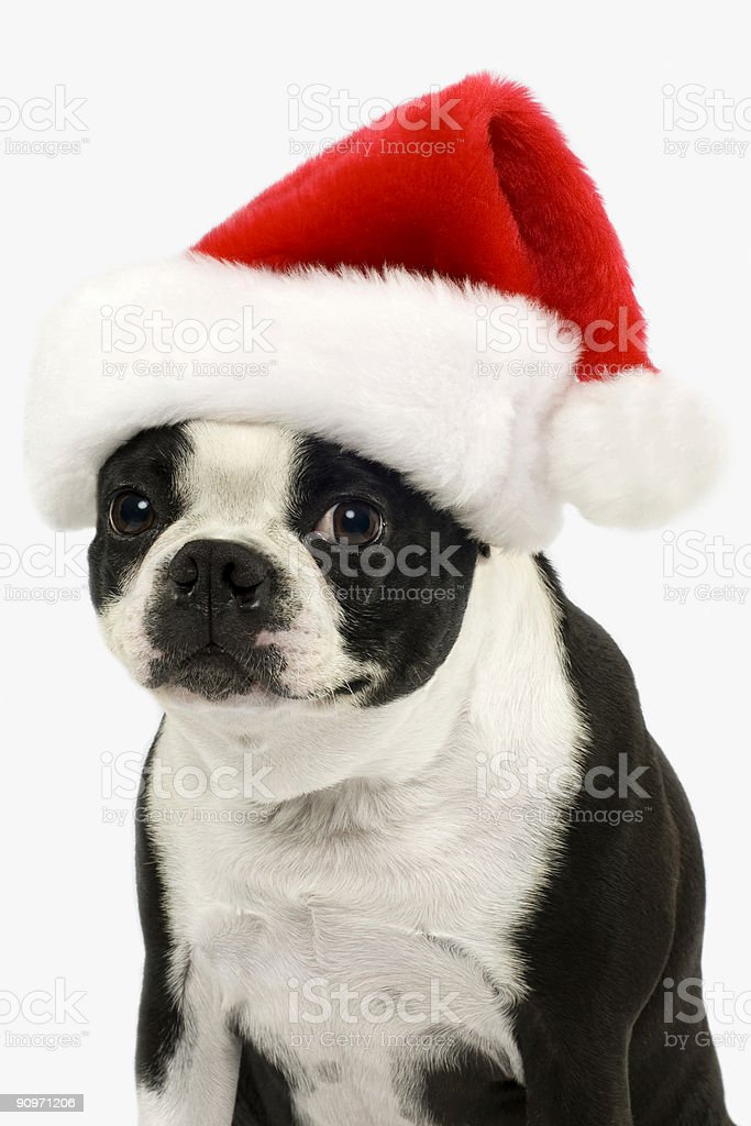 Christmas Puppy 1 royalty-free stock photo