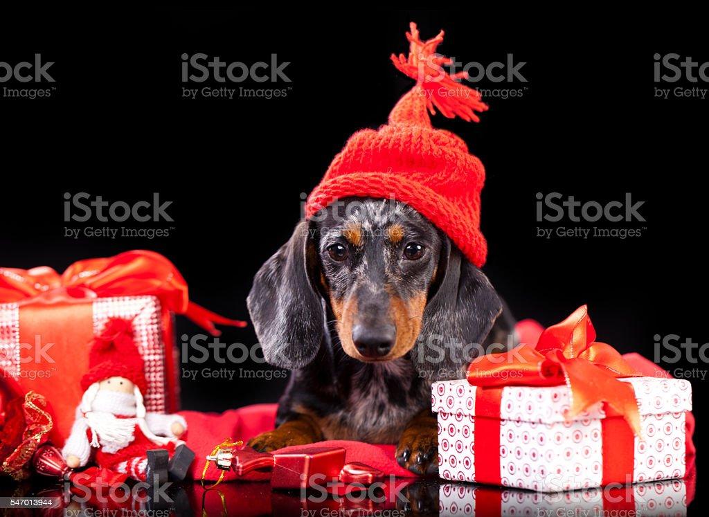 christmas puppy dachshund stock photo