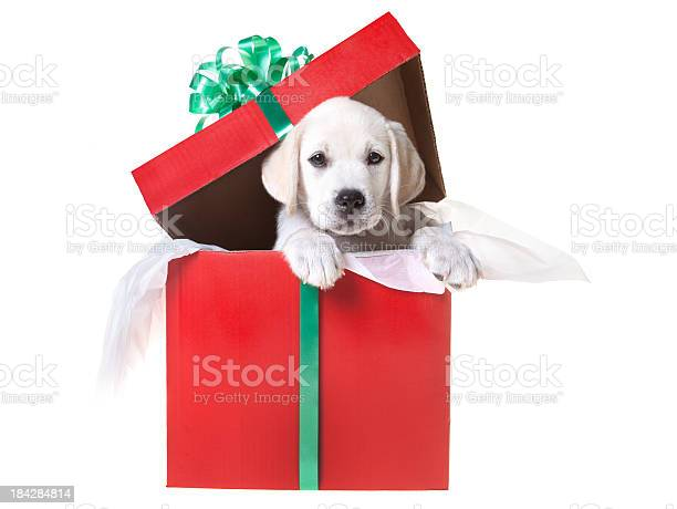Christmas puppy in a gift box picture id184284814?b=1&k=6&m=184284814&s=612x612&h=bxmhvf gfykhtnlzgn5fsnmjfhvwi7pbd5i3wf8pcue=