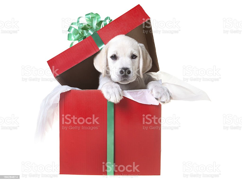 Christmas puppy in a gift box stock photo