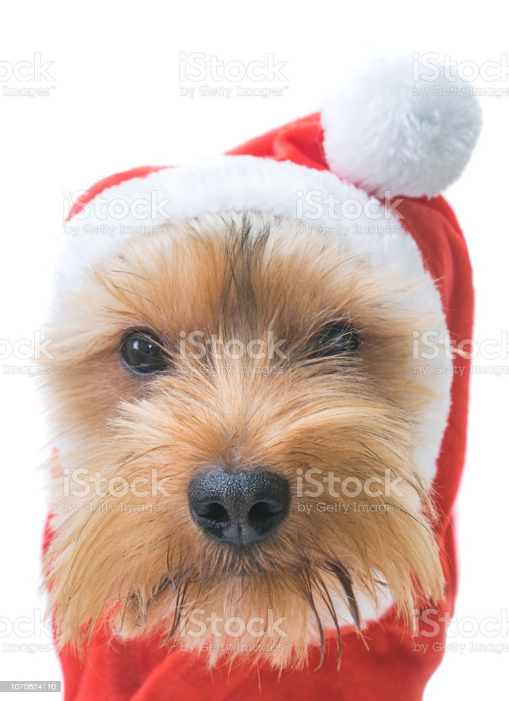 Christmas Puppy Stock Photo Download Image Now Istock
