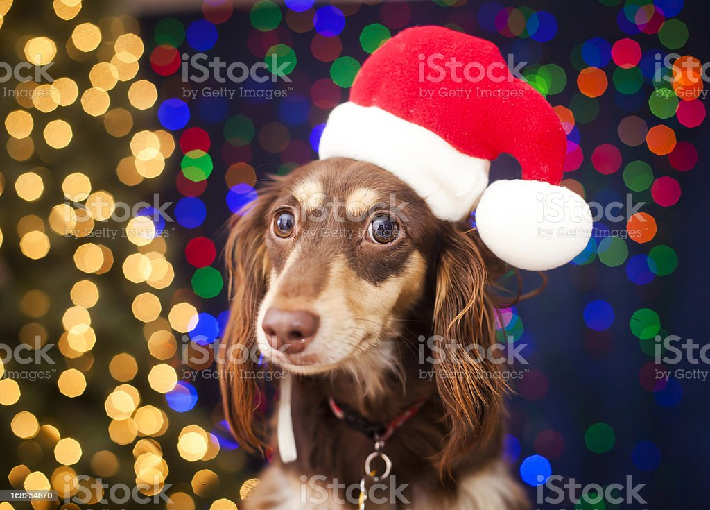 Christmas Puppy royalty-free stock photo