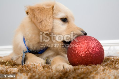 A cute puppy with a Christmas bauble.