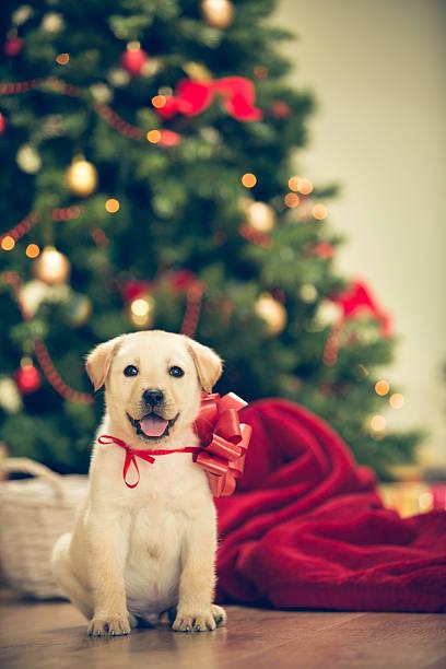 Christmas puppy picture id526835841?b=1&k=6&m=526835841&s=612x612&w=0&h=oktgc9tnacqi4rdklik4m 5xqfwuzjs o5zsyd0nc88=