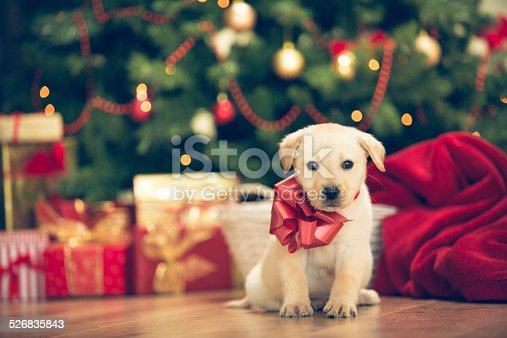 Christmas puppy - cute little labrador retriever wit red bow around his neck in front of the christmas tree.