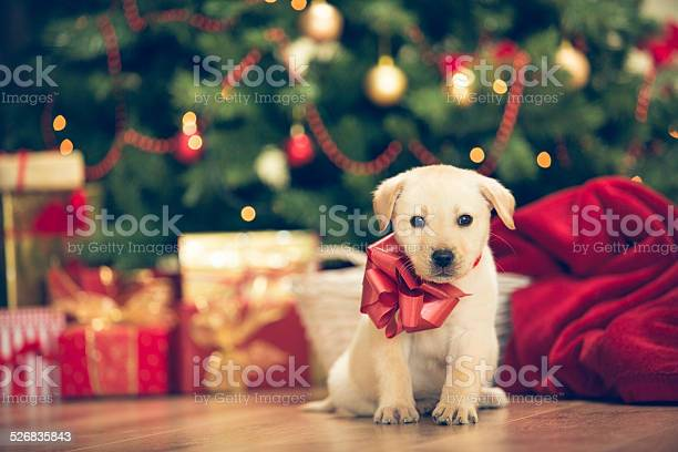 Christmas puppy picture id526835843?b=1&k=6&m=526835843&s=612x612&h=tlypalodcwa1fbqdfd13x1rsnizjnokembvewqo5ezm=