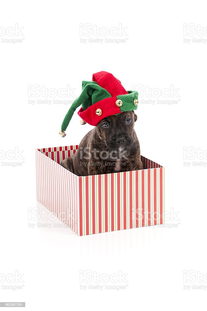 Christmas Puppy Series royalty-free stock photo