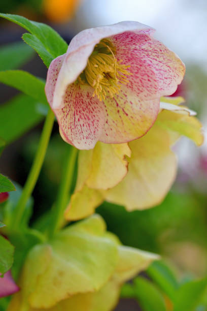 Christmas rose / Helleborus niger / Black hellebore stock photo