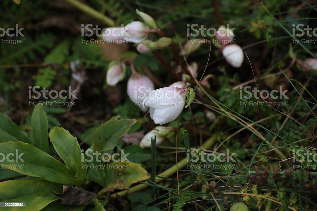 Christmas Rose stock photo