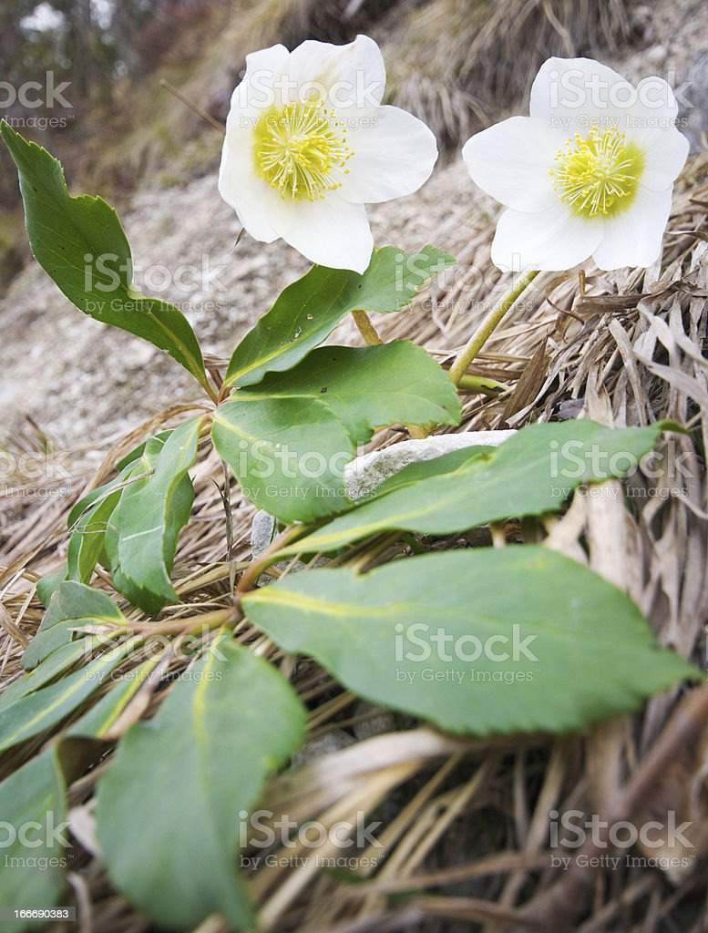 christmas roses royalty-free stock photo