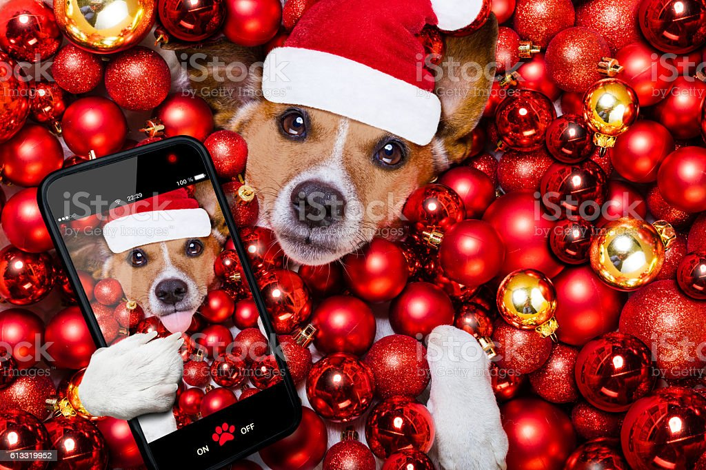 christmas santa claus dog and xmas balls as background stock photo